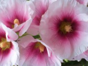 Still Life Photographs Painting Posters - Pink-faced Hollyhocks Poster by Liz Evensen