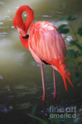 Pink Flamingo Framed Prints - Pink Flamingo Framed Print by Carol Groenen