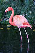 Flamingo Prints - Pink Flamingo Print by David  Naman