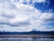 Flocks Of Birds Prints - Pink Flamingos In Lake Ngorongoro Crater Print by Axiom Photographic
