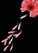 Pink Flower With Petals Print by Photo by Bhaskar Dutta