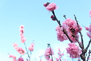 Pink Flowers Print by Allen Jiang