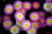 Pink Flowers At Dawn 3 Print by Sumit Mehndiratta