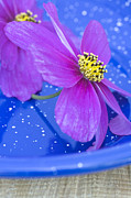 Blue Vase Metal Prints - Pink flowers Metal Print by Frank Tschakert