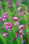 Pink Blossoms Photo Posters - Pink flowers of Gladiolus Communis Poster by Frank Tschakert