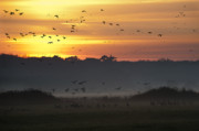 Migration Art - Pink footed geese at Holkham Norfolk UK by John Edwards