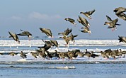Fly In Posters - Pink-footed Geese On An Ice Floe Poster by Duncan Shaw