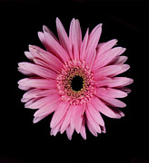 Flower Works Photos - Pink Gerber Daisy. by Chris  Kusik