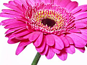 Macro Photos Posters - Pink gerber daisy flower Poster by Artecco Fine Art Photography - Photograph by Nadja Drieling