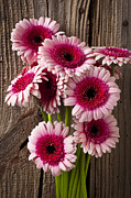 Wooden Prints - Pink Gerbera daisies Print by Garry Gay