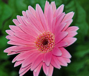 Macro Digital Art Framed Prints - Pink Gerbera Delight Framed Print by Suzanne Gaff
