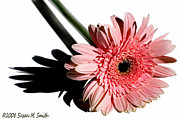 Susan M. Smith Posters - Pink Gerbera Poster by Susan Smith