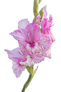 Gladiola Prints - Pink Gladiolus Print by Ann Garrett