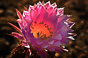 Plant Greeting Cards Prints - Pink glow Print by Robert Bales