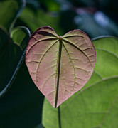 Morgan County Prints - Pink Heart Leaf Print by Douglas Barnett