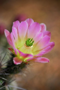 Hedgehog Cactus Prints - Pink Hedgehog Cactus Print by Saija  Lehtonen