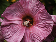 Pink Hibiscus Posters - Pink Hibiscus 1 Poster by Thomas Young