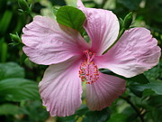 Gregory Young - Pink Hibiscus