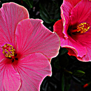 Pink Hibiscus Posters - Pink Hibiscus Poster by Simone Hester