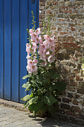Hollyhocks Photos - Pink Hollyhocks Growing from a Crack in the Pavement by Louise Heusinkveld