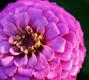Zinna Photos - Pink Infusion by Bruce Bley