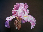 Colored Background Drawings - Pink Iris by Marita Lipke