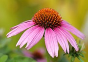 Cone Flower Posters - Pink is In Poster by Sabrina L Ryan