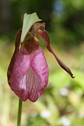 Sun On Flowers - Pink Lady Slipper by Lynn-Marie Gildersleeve