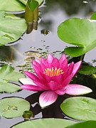 Lilies Photos - Pink Lily Flower  by Diane  Greco-Lesser