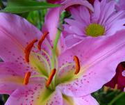 Unfold Prints - Pink Lily Print by Robert Knight
