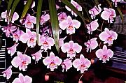 Orchids Art - Pink little orchids by Susanne Van Hulst