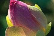 Water Lilly Photos - Pink lotus bud by Heiko Koehrer-Wagner