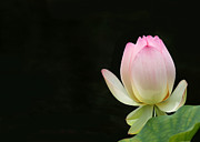Lotus Bud Framed Prints - Pink Lotus Bud Framed Print by Sabrina L Ryan