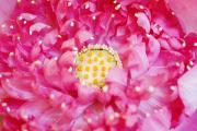 Religious Art Photos - Pink Lotus by Ray Laskowitz - Printscapes