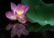 Pink Lotus Prints - Pink Lotus Reflection Print by Sabrina L Ryan
