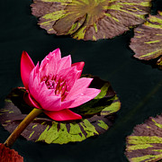 Pink Flower Prints Originals - Pink Lotus by Rob Outwater