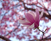 Outdoor Art - Pink Magnolia by Rona Black