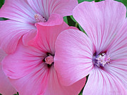 Pink And Lavender Prints - Pink Mallow Garden Print by Kathie McCurdy
