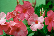 Tropical Photographs Originals - Pink Mandevilla Vine by Ann  Murphy