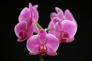 Orchid Photo Prints - Pink March Madness Print by Juergen Roth