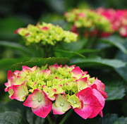 Hydrangeas Prints - Pink Melody Print by Karen Wiles