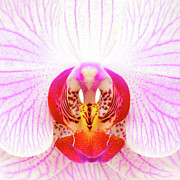 Macro Art - Pink Orchid by David Bowman