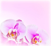 Orchid Petals Framed Prints - Pink Orchid flower border Framed Print by Anna Omelchenko
