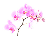 Add Framed Prints - Pink Orchids 1 Framed Print by  Onyonet  Photo Studios