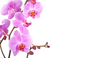 Copy Space Prints - Pink orchids Print by Jane Rix