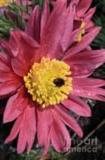 Pink Pasque Flower Print by Carol Groenen