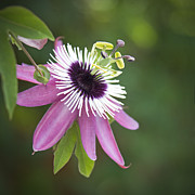 Passiflora Digital Art Metal Prints - Pink Passion Flower Metal Print by Glennis Siverson