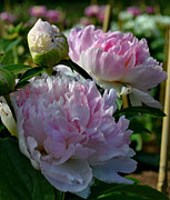 Whiteoak50 Framed Prints - Pink Peonies-40 Framed Print by Eva Thomas