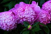 Byron Varvarigos - Pink Peonies In The Rain