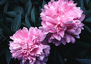 Plants From My Garden - Pink Peony Pair by Tom Wurl
